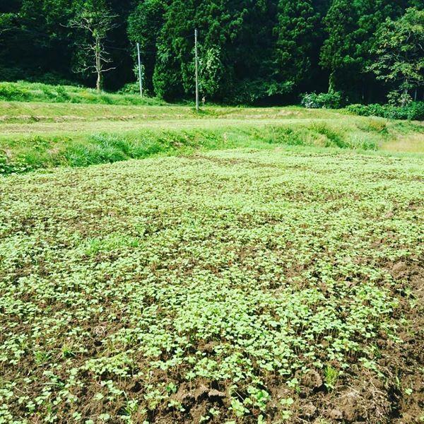 2020年粋や農場 自家栽培の蕎麦畑